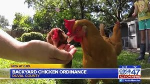City leaders consider allowing backyard hens permanently_11393123_1453724127573_588467_ver1.0_640_360